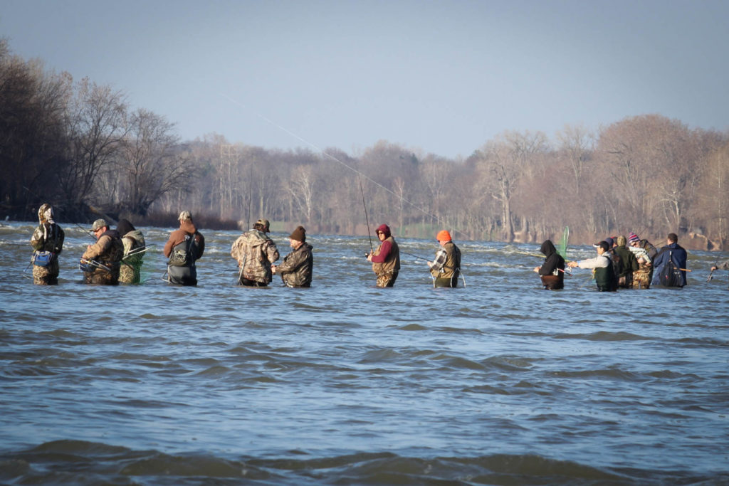 Gallery maumee river walleye run for Maumee river fishing